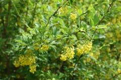 Florescence куста барбариса весной стоковые изображения