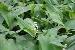 Florescence ландыша весной стоковая фотография