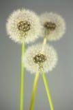 florescence одуванчика стоковые фотографии rf