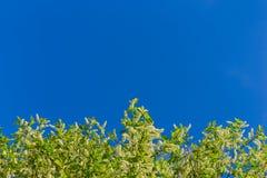 Florescence птиц-вишни на голубом небе стоковые изображения rf