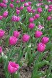 Florescence розовых тюльпанов в апреле стоковая фотография