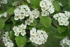 Florescence северного пухового боярышника весной стоковая фотография