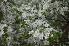 Florescence сливы вишни весной стоковые изображения rf