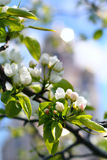 The florescence of apple tree Stock Images