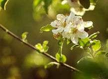 Florescence of apple tree with soft white flowers Stock Photos