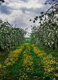 Florescence of apple trees in spring. Apple trees in orchard, spring Stock Photos