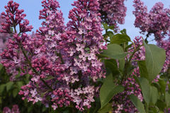 Florescence branches of lilacs Stock Images