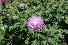 Florescence cornflower побелки весной стоковые изображения rf