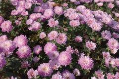 Florescence de crisantemos rosados en otoño foto de archivo
