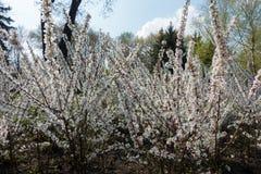 Florescence de la cereza enana china en primavera foto de archivo