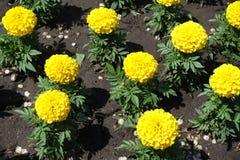 Florescence de la maravilla amarilla en el jardín fotografía de archivo
