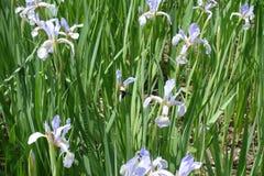 Florescence de la mariposa irisa en junio Fotos de archivo