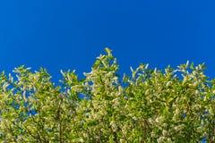 Florescence de la pájaro-cereza en el cielo azul imágenes de archivo libres de regalías