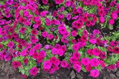 Florescence de la petunia coloreada magenta fotos de archivo libres de regalías