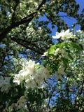 Florescence de los árboles frutales imagen de archivo libre de regalías