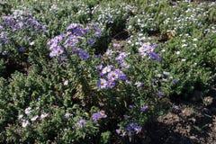 Florescence de los arbustos de margaritas de Michaelmas fotos de archivo libres de regalías
