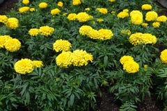 Florescence de maravillas mexicanas amarillas imagenes de archivo