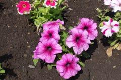 Florescence de petunias rosadas en mayo fotos de archivo