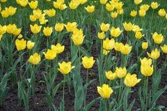 Florescence de tulipanes amarillos en primavera fotos de archivo