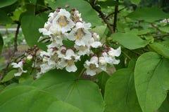 Florescence del árbol del catalpa en junio imágenes de archivo libres de regalías