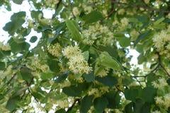 Florescence del árbol de cal en verano imagen de archivo libre de regalías