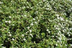 Florescence del arbusto de los horizontalis de Cotoneaster en primavera fotografía de archivo libre de regalías