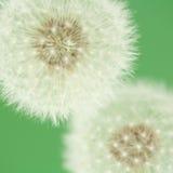 Florescence del diente de león (macro) foto de archivo libre de regalías