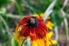 Florescence del rojo del rudbeckia en cama de flor foto de archivo libre de regalías