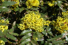 Florescence of holly-leaved mahonia in spring Stock Photo