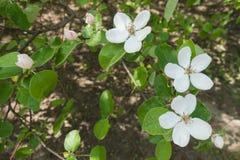 Florescence oblonga Cydonia весной стоковое изображение rf