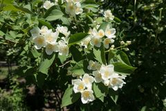 Florescence of Philadelphus coronarius in late spring. Florescence of Philadelphus coronarius bush in late spring stock images