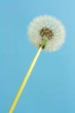Florescence van blowball Royalty-vrije Stock Afbeeldingen