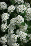 Florescence vanhouttei Spiraea весной стоковые изображения