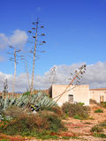 Florescences of agave plants in front of old canarian houses, Fuerteventura Royalty Free Stock Image