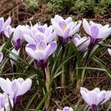 Florescendo açafrões maravilhosos e brilhantes Foto de Stock Royalty Free