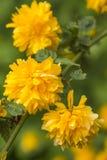 Florescendo um japonica Pleniflora de Кerria Foto de Stock Royalty Free