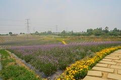 Florescent flower field in summer Stock Photo