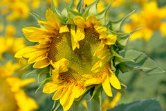 Florescent  sunflower Royalty Free Stock Images