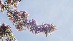 Florescer as flores de cerejeira brancas e roxas de Sakura do japonês na profundidade de campo rasa contra um céu azul floresce n video estoque