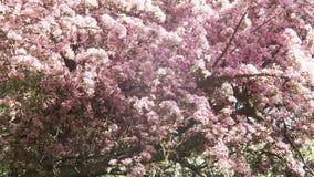 Florescer as flores de cerejeira brancas e roxas de Sakura do japonês na profundidade de campo rasa contra um céu azul floresce n vídeos de arquivo