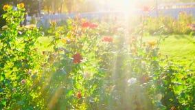 Florescer aumentou no jardim em um slomo do dia ensolarado video estoque