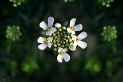 Florescer (Candytuft) Fotografia de Stock