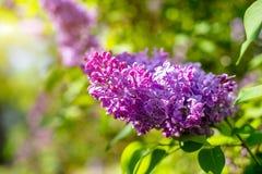Florescer dentro pode, um lilás cor-de-rosa imagens de stock royalty free
