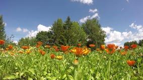 Florescer ervas médicas floresce o calendula do cravo-de-defunto no jardim e nas nuvens Timelapse 4K video estoque