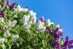 Florescer os lilás brancos e roxos ramifica na primavera Florets pequenos da mola lilás no jardim foto de stock