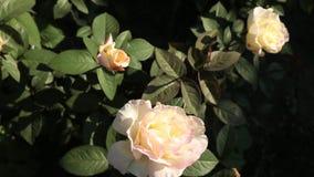 Florescer rosas floresce no jardim, vista superior video estoque