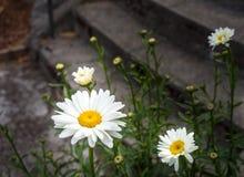 Florescência selvagem da margarida Imagens de Stock Royalty Free
