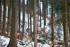 Floresta: árvores de pinhos Fotos de Stock