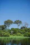 Floresta úmida das Amazonas Imagem de Stock