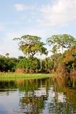 Floresta úmida das Amazonas: Ajardine ao longo da costa do Rio Amazonas perto de Manaus, Brasil Ámérica do Sul Imagem de Stock